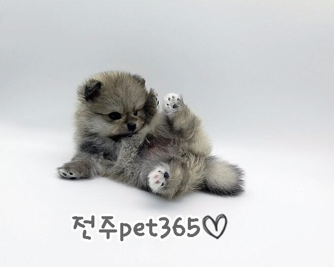 포메라니안 (꼼이)
